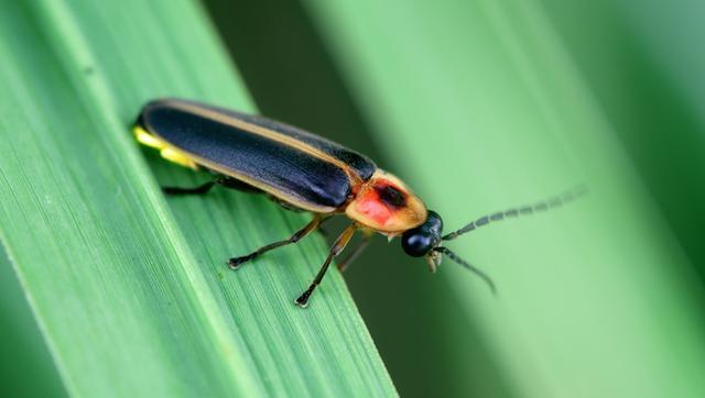 萤火虫是可爱而优雅的昆虫,能够以美丽的灯光秀照亮黄昏